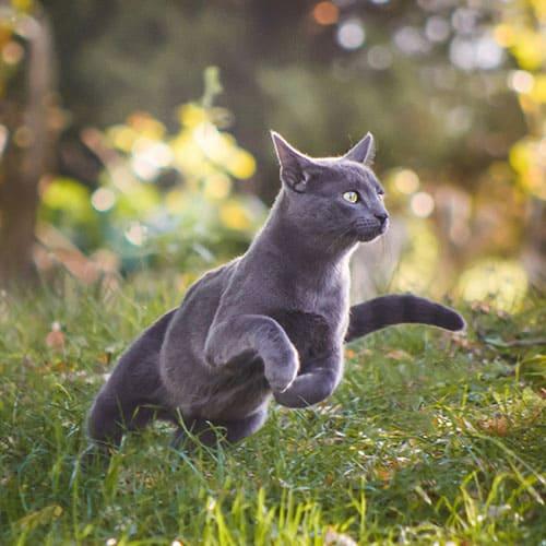 Graue Katze springt durch grünes Gras