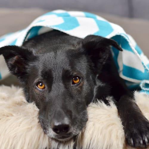 Trauriger Hund liegt mit einer Wolldecke bedeckt auf Fell